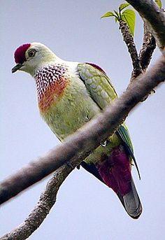 MANY-COLOURED FRUIT-DOVE - Ptilinopus perousii) . . . Fiji, the Samoan Islands, Tonga . . .    Photo: Richard Thomas