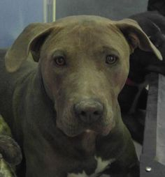 Unknown Outcome Animal ID 35461885 Species Dog Breed Terrier, American Pit Bull/Mix Age 1 year 2 days Gender Female Size Medium Color Grey Site Department of Animal Services, City of El Paso Location Sally Port Intake Date 5/25/2017