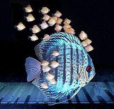 Discus Fish herding her fry around .