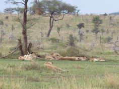 Safari in Serengeti Tanzania at Meru Wellness Retreat Lodge Camp Safari  www.meruwellnessretreat.com