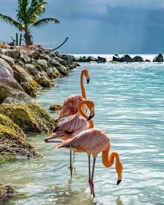 Flamingos at the water's edge Flamingo Art, Pink Flamingos, Flamingo Tattoo, Flamingo Wallpaper, Beautiful Birds, Animals Beautiful, Animals And Pets, Cute Animals, Animals Images