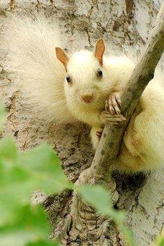 White Squirrel ~ found in Marionville, Missouri
