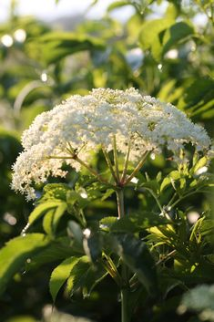 Elderflower (Sambucus nigra var. canadensis) -- Chestnut School of Herbal Medicine