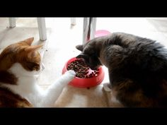 Pesky cat Oscar steals food from right under Kimicat's nose. This is not his first experience as a cat food thief either. Funny Cute Cats, Food Bowl, Gif Of The Day, Cat Food, I Foods, Cat Food Recipes