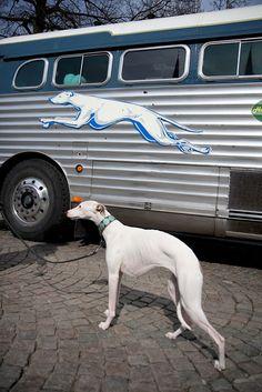 Greyhounds !!!