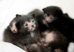 Lykoi kittens. SO ADORABLE!