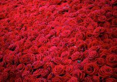 1280x900 Обои розы, цветы, бутоны, красные, много