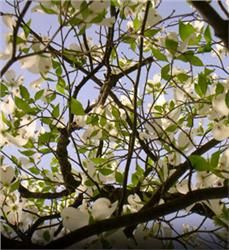 Cloud Nine Dogwood (Cornus florida 'Cloud 9'). Zones 5 –9. Grows to 15' tall and 10' wide. Part shade to full sun (prefers 4 hours of direct, unfiltered sunlight each day).