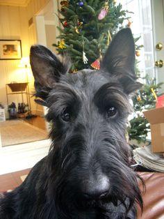 Teddie, Scottish Terrier