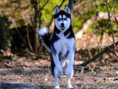 Siberian Husky King Kona