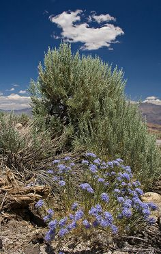 Desert Plants | Desert plants near Mount Whitney