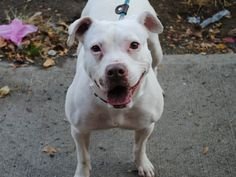 SAFE ! 11/20/13Brooklyn Center-P   CREME   #A0984406 Spayed female white pit bull mix  2 YRS  OWNER SUR 11/08/13  Sweet Crème has pneumonia and needs vet care ASAP!  She has been a pleasure while in the shelter, and has even become a volunteer favorite during her short stay. Crème did very well on her behavior exam, & is great with kids!  Walks very nicely on her leash. Very affectionate & loves to sit with people & get petted. Come meet this sweet girl Creme. You will be glad you did.