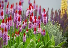 Primula Vialii, Plants, Organic Fertilizer, Water Garden, Flower Beds, Natural Garden, Rockery Garden, Ceiling Medallions, Planters
