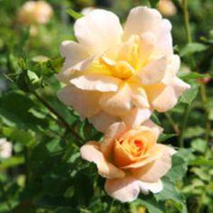 "Perennials - ""F. J. Lindheimer"" Shrub Rose"