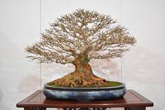 Beautiful bonsai displayed at the Kokufuten (Japan) #bonsai