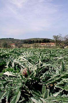 Campo di Carciofi pic Barbara Frezza #Maremmans