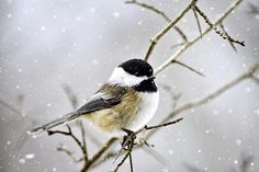 Snowy Chickadee Bird by Christina Rollo © www.rollosphotos.com. Beautiful close-up portrait of a Black-Capped Chickadee (Poecile atricapillus) perched on a branch under gently falling snow on a cold winter day.