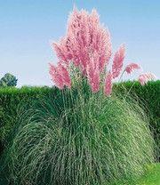 baldur-garten winterhart chinaschilf red chief 1 pflanze, Garten und bauen