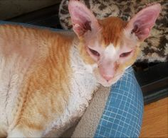 ROCKET is an adoptable cornish rex searching for a forever family near Kenosha, WI. Use Petfinder to find adoptable pets in your area. Cornish Rex Cat, Purebred Cats, Pet Search, Pet Care Tips, Special Characters, Animal Rescue, Pet Adoption, Searching, Your Pet