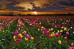 Woodburn Tulip Fields by Greg Stokesbury on 500px