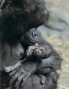 New Baby Gorilla In Pittsburgh...how cute is he?