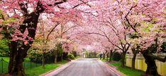 Αποτέλεσμα εικόνας για cherry blossoms