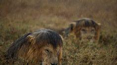 Michael Nichols y sus leones bajo la lluvia en Tanzania