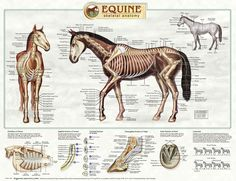 Equine Skeletal Anatomy Laminated Wallchart [Poster]: Amazon.co.uk: Lik Kwong MFA in consultation with MSA Kumar DVM PhD School of Veterinary Medicine Tufts University: 9781850549994: Books