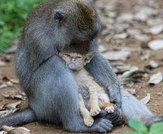 A long tailed macaque adopts a kitten in the forests of Bali.