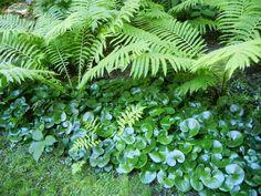 Haselwurz und Farne im Schattengarten