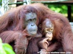 Indonesia - Sumatra - Gunung Leuser National Park, rehab Hospital for orang-utan