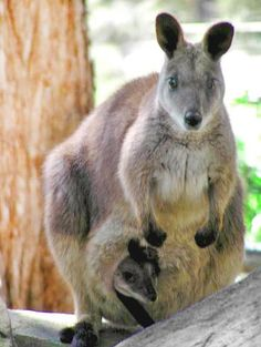 Hayman's Proserpine Rock Wallaby population welcomes a new joey to the family! The proud mother was spotted showing off her bouncing baby along Hayman's walking tracks.