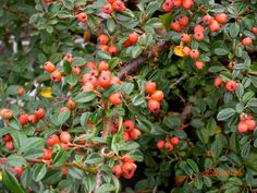 Cotoneaster coral beauty - Google Search