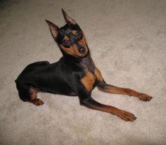Miniature Pinscher-Best dog ever! I love those min pins!