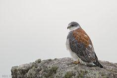mis fotos de aves: Aguilucho común [Geranoaetus polyosoma] Variable h...