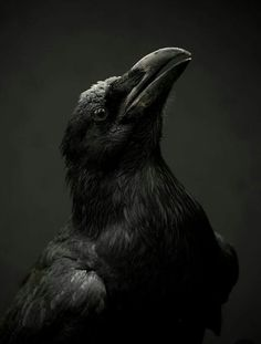 Two Sides of a Raven A Reverse Poem Raven Bird, Quoth The Raven, Beautiful Birds, Animals Beautiful, Funny Bird, Rabe Tattoo, Jackdaw, Crows Ravens, Tier Fotos