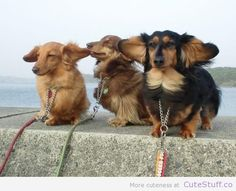 Dachshunds_ears_blowing_in_The_wind