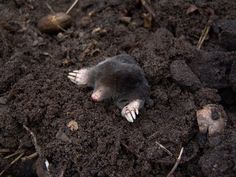 A mole peeking out of his home. https://pixabay.com/en/mole-nature-animals-molehills-13298/