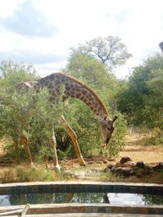 Giraffe drinking water from a water hole at a home in a Wildlife Estate near Hoedspruit House Property, Property For Sale, Close Proximity, Close To Home, South Africa, Wildlife, Homes