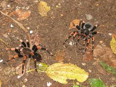 Tarantulas in Monteverde Cloud Forest, Costa Rica - Spring Break, 2006
