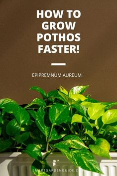 How To Grow Pothos Faster. Pursue These Tips To Help Your Pothos House Plant Thrive And Grow Quickly Into A Spectacular Indoor Plant. Ivy Plant Indoor, Best Indoor Plants, Outdoor Plants, Indoor Water Garden, Indoor Plant Decor, Outdoor Gardens, Pothos Plant Care, Pothos Vine, Plant Cuttings