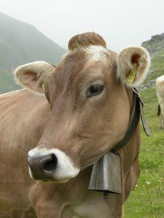 Brown Swiss Cow - We had 2 Brown Swiss milk cows named Lady Miss and Junior Miss.
