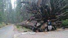 RT @astrojulecho: Impresionante sequoya gigante caída en el Parque Nacional de Yosemite. @touristeye_es