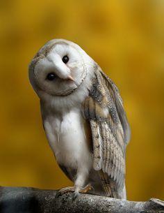 barn owl #owlsaesthetic #owls