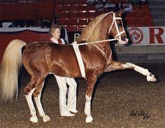 Cal Dorado  1979 Arabian  stallion(Cal-O-Bask x Bint Se Deyra, Gwalison)