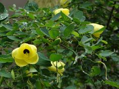Bauhinia tomentosa in our previous garden  Mouse birds love eating the flowers