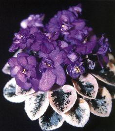 Miniature African Violets | Frosted Denim' Miniature African violet