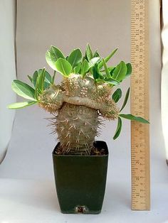 Pachypodium brevicaule grafted succulent  10 yrs old