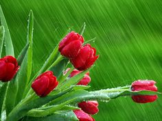 rain over the red roses on green background / chuva sobre as rosas vermelhas no fundo verde Red Tulips, Tulips Flowers, May Flowers, Spring Flowers, Red Roses, Beautiful Flowers, Unusual Flowers, Special Flowers, Flowers Nature