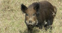 Trapping Wild Hogs Is Easy With This DIY Pen | Off The Grid News